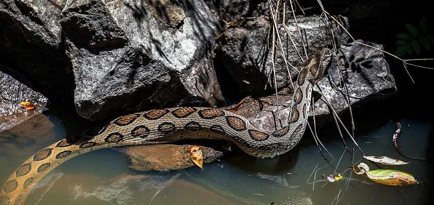 Herpetofaunal survey records 98 species in Wayanad