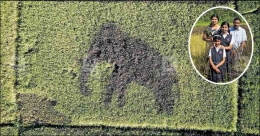 This is how a tusker image appeared in a paddy field