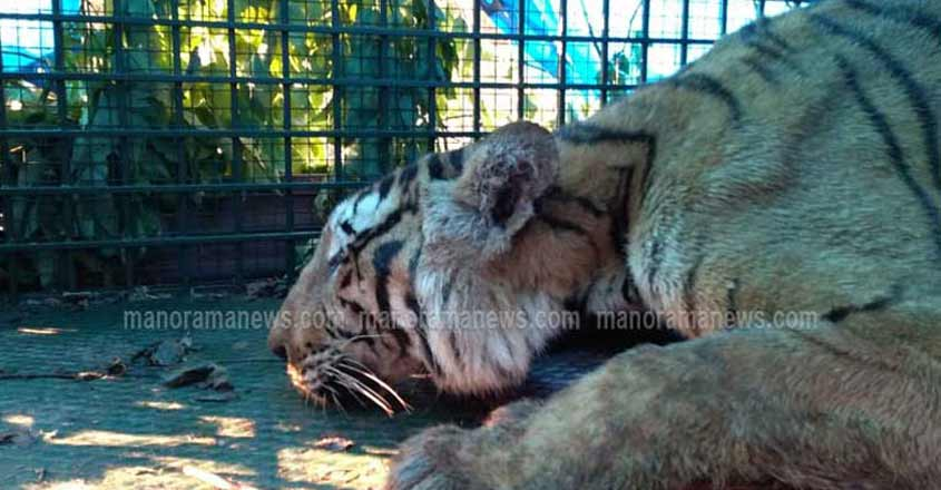 Foresters trap tiger that attacked them
