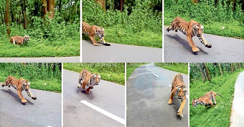 Who shot the viral tiger video and where exactly!