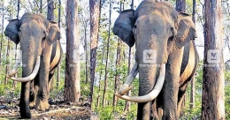 Wayanad's beloved wild tusker Maniyan is no more