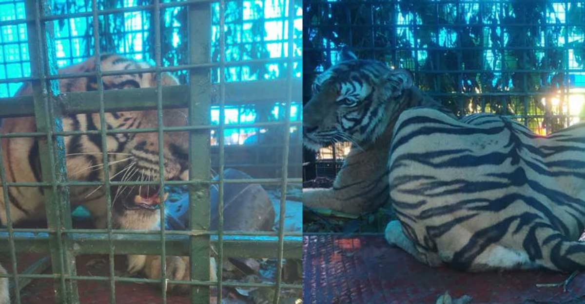 Tiger trapped in cage at Pulpally   Video
