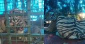 Tiger trapped in cage at Pulpally | Video