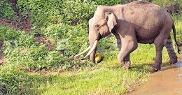 Elephants rampage Wayanad village for jackfruits