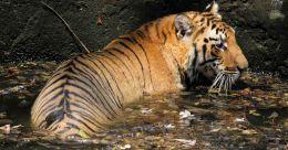 Tiger kills 24-year-old in Wayanad