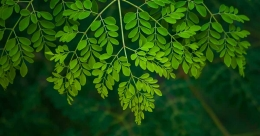 Why to avoid moringa leaves during Karkidakam