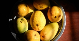 Mango magic: Most common mango myths and facts