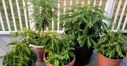 How to grow healthy curry leaves in pots
