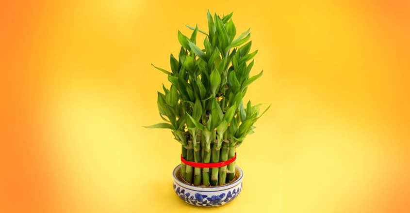 This green plant is sure to bring good luck and happiness