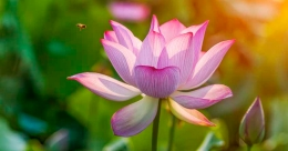 Significance of offering 'thulabharam' with lotus flowers