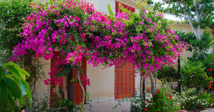 Waiting To See Your Bougainvillea Bloom Use These Tips Lifestyle Decor English Manorama