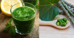 Boost your immunity with juice of giloy, a common herb in Kerala