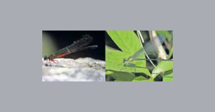 Eight new species of dragonflies found in Kerala