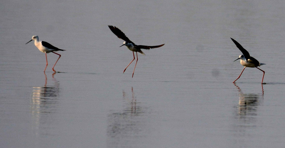 Patna: Migratory birds search for food in the Ganga river in Patna on May 14, 2020. (Photo: IANS)