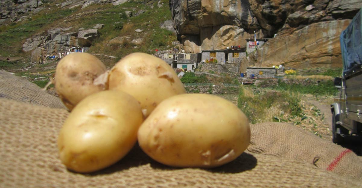Disease-free potatoes of Himachal's cold deserts sell like hotcakes
