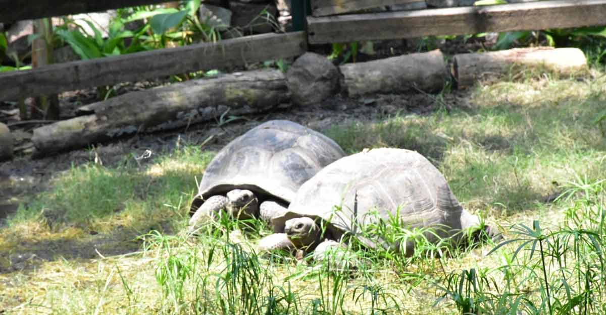 Four-year old adopts Al-Dabra Giant Tortoise at Hyderabad Zoo.