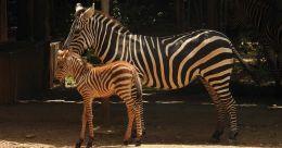 Newborn zebra foal becomes Mysuru zoo's newest resident