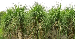 Farmer form Saharanpur wins award for highest sugarcane yield in UP