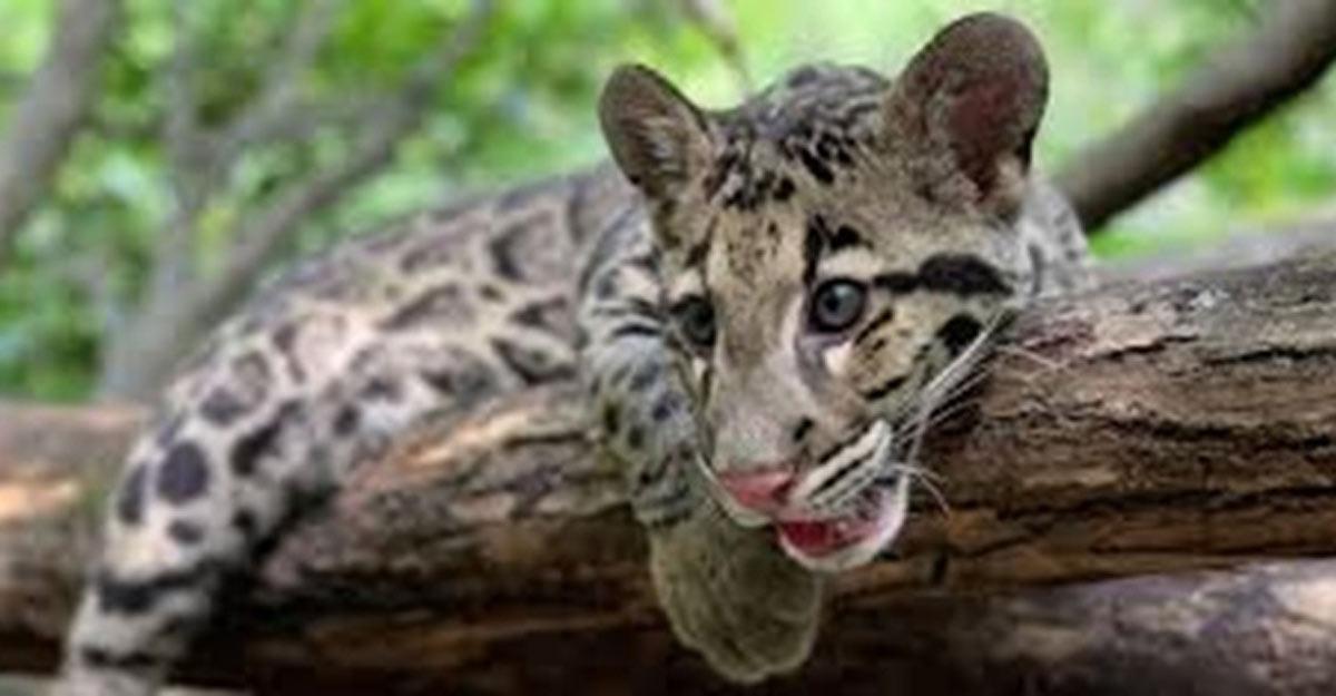 Tripura, Meghalaya, Mizoram to protect endangered Clouded Leopard.