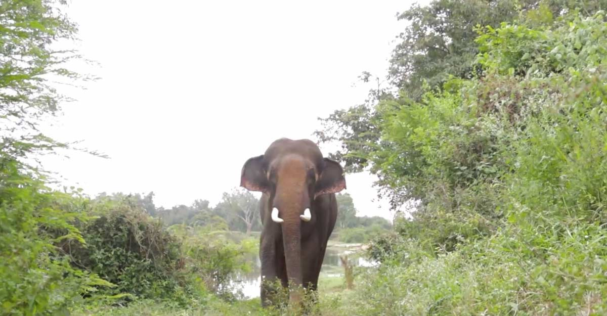 Free from confinement, a happy Diwali for elephant Sunder,