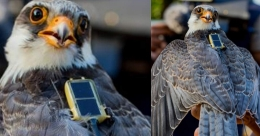 Falcons visit India from northern China covering 33K km, then fly to Somalia