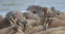 Huge walrus haulout discovered in Acrtic circle by Russian scientists