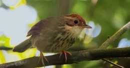 New species of puff-throated babbler makes first appearance in Rajasthan