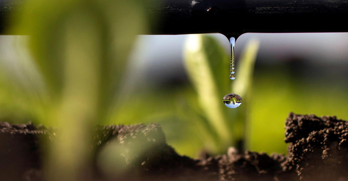 Drip irrigation system emerges to solve rice paddy problem