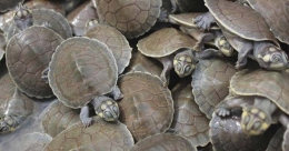 Turtle tsunami in Brazil:  Mass birth to increase survival, say experts