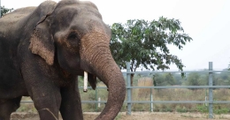 Jai, the elephant who walked 1,000 kms in spiked chains tastes freedom