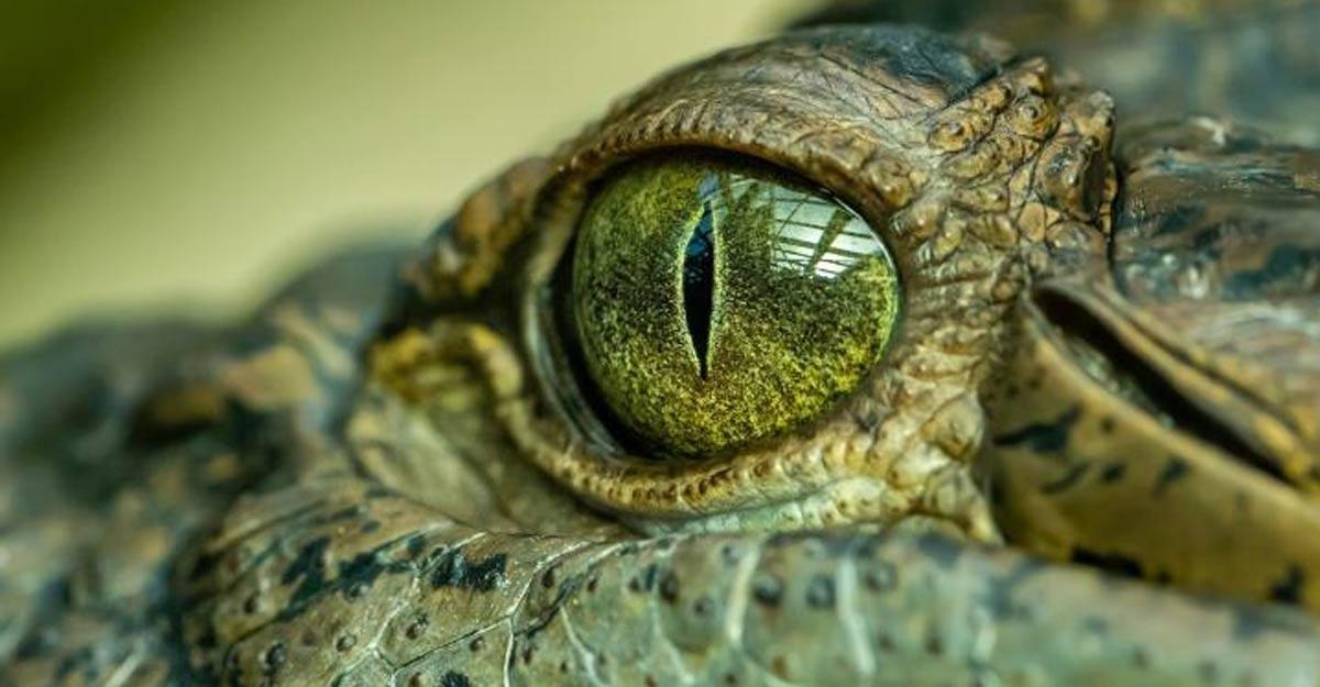 Massive prehistoric crocodile known as 'swamp king' identified in Australia