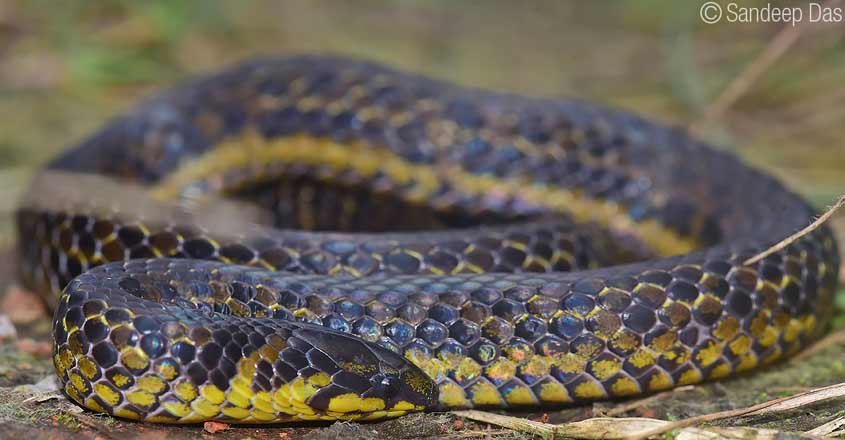 Indian researchers spot new snake species from Western Ghats
