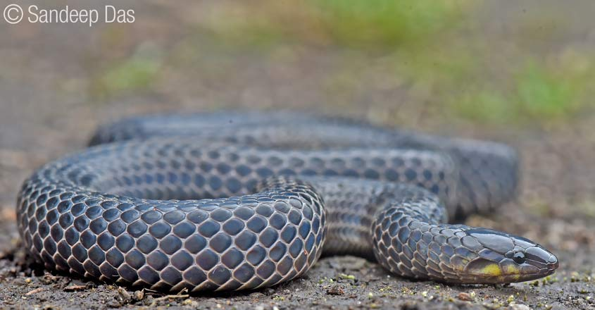 xylophis-mosaicus-2