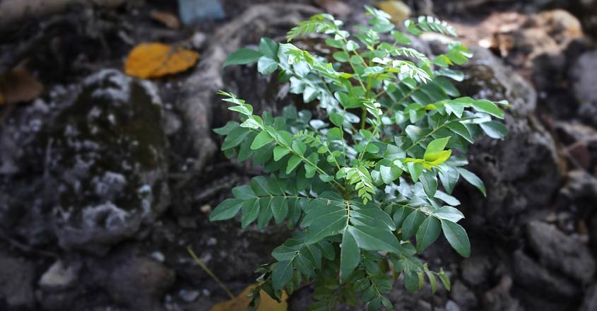 Grow lush curry leaves at home using this organic formula
