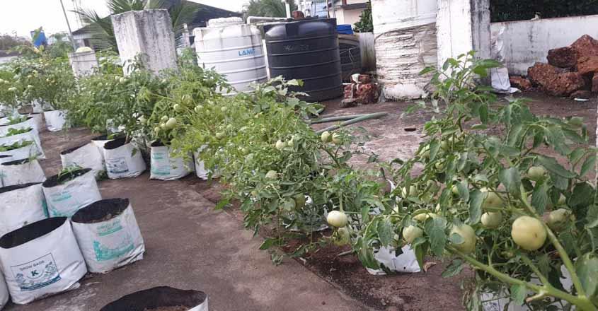 veg-tomato-terrace-3