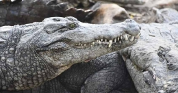 Now crocodiles shedding real tears at Chennai zoo, for food