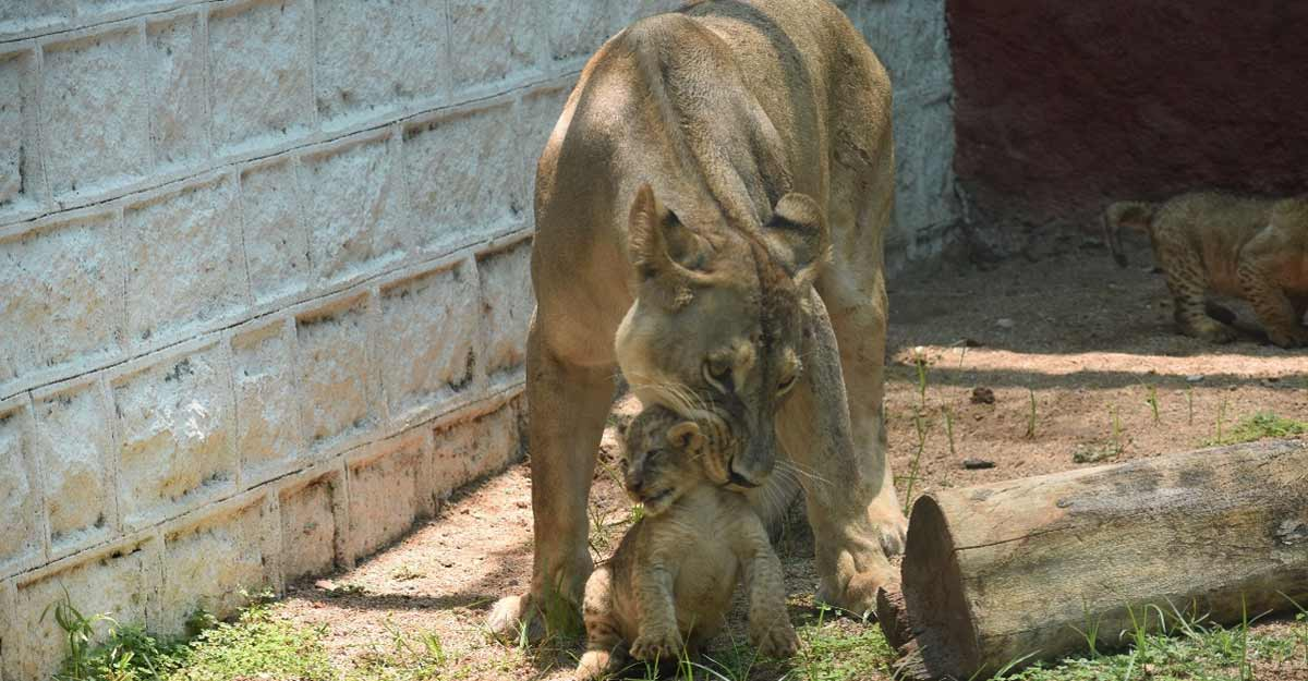 African lion cubs make first appearance at Hyderabad Zoo.