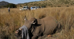South Africa dehorns rhinos to prevent surge in lockdown poaching
