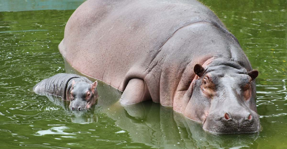 Hippo calf's birth in Bengaluru Zoo good news amid COVID-19 crisis