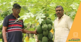 Reaping rich returns through Red Lady, the queen of papayas