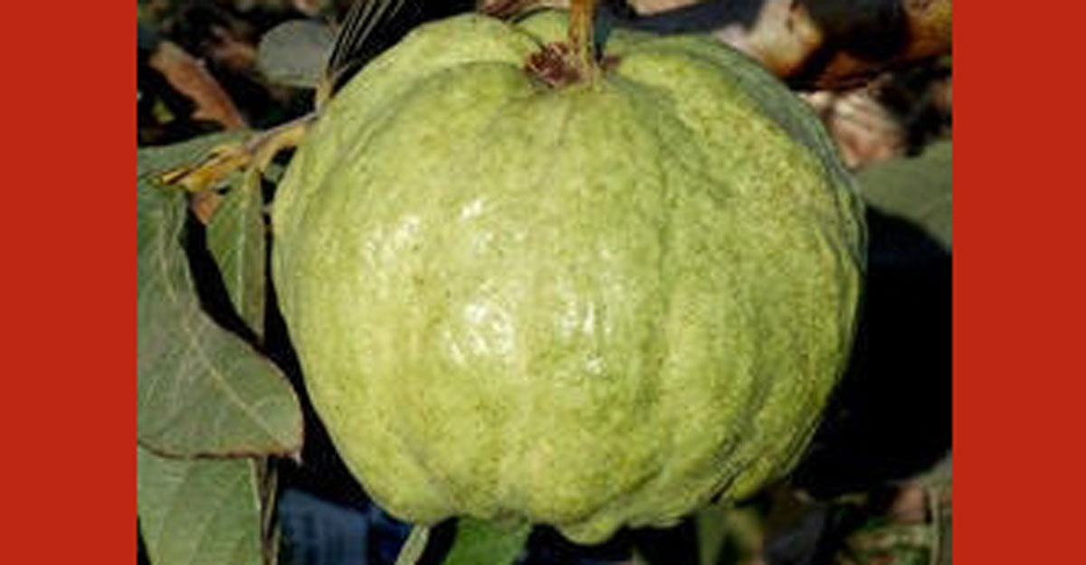 New variety of guava developed in mango belt by UP farmer