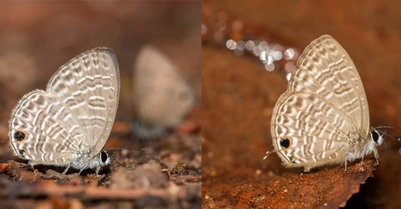 New Butterfly Species Discovered In Western Ghats, Researchers Term It  Historical | Lifestyle News | English Manorama
