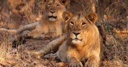 Call of the Wild   Narrow politics plays spoilsport in conservation of Asiatic lion