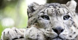 Call of the Wild   Conservation of snow leopard, the most beautiful feline species