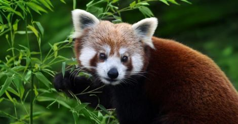 Call of the Wild | Conservation status: the adorable red pandas are in trouble