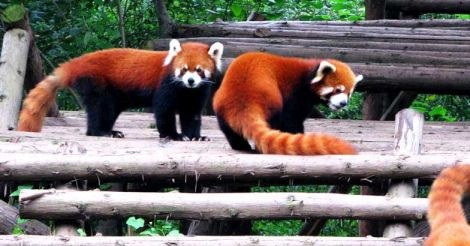 Conservation status: the adorable red pandas are in trouble