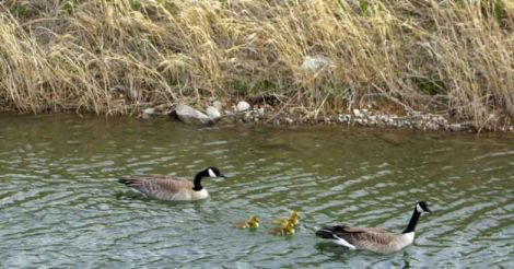Canada goose: the most majestic waterfowl species in the world