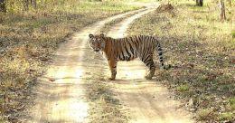 Should govt confer forest rights to tribals in key tiger habitats?