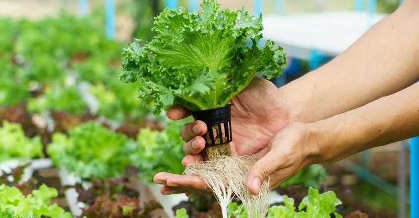 hydroponics-veg