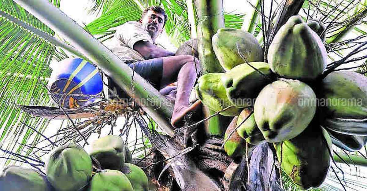 Column | When toddy helped topple caste and class structure in Kerala